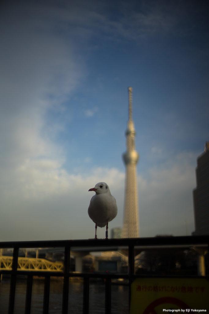 ユリカモメに東京スカイツリー。絞り開放。周辺減光がいい感じです。