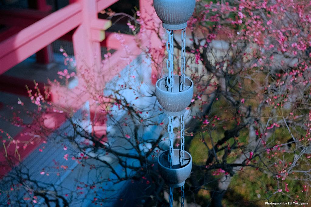 本堂脇、梅の花はけっこう枯れていたので、バックでボカしてみました。Leica M-A
