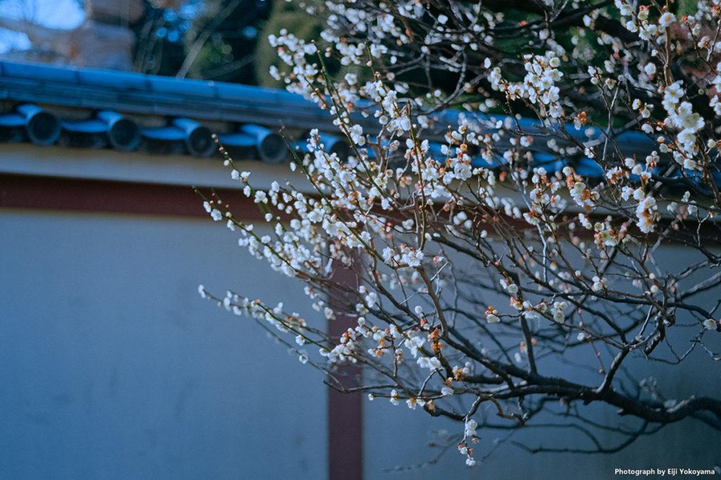 阿弥陀堂の梅。Leica M-A
