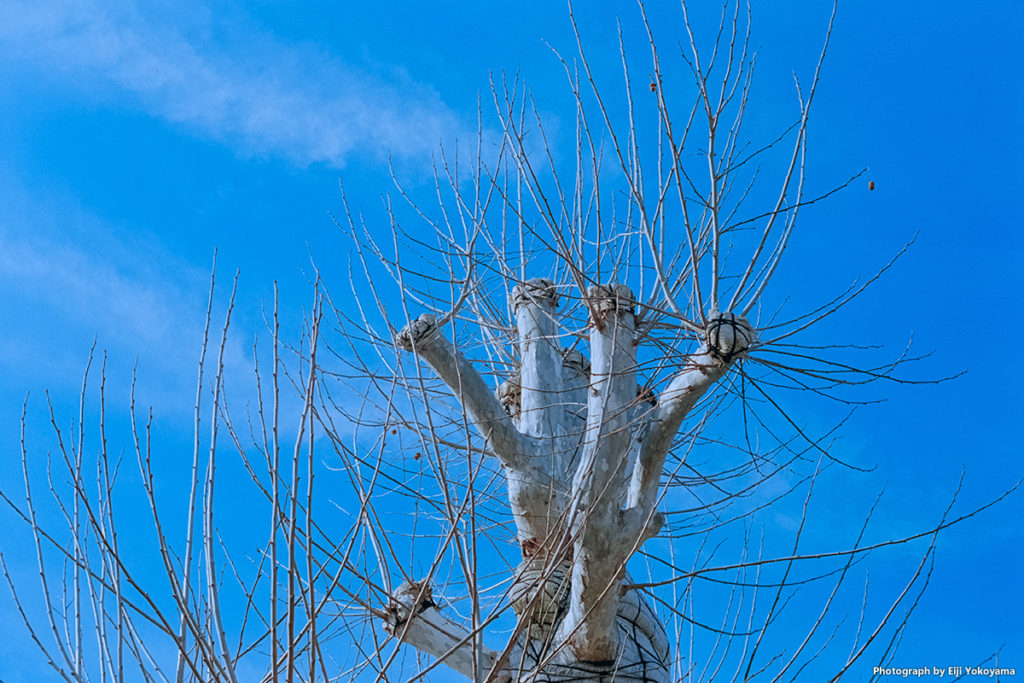境内の木。剪定されてちょっと面白い形だったので。Leica M-A