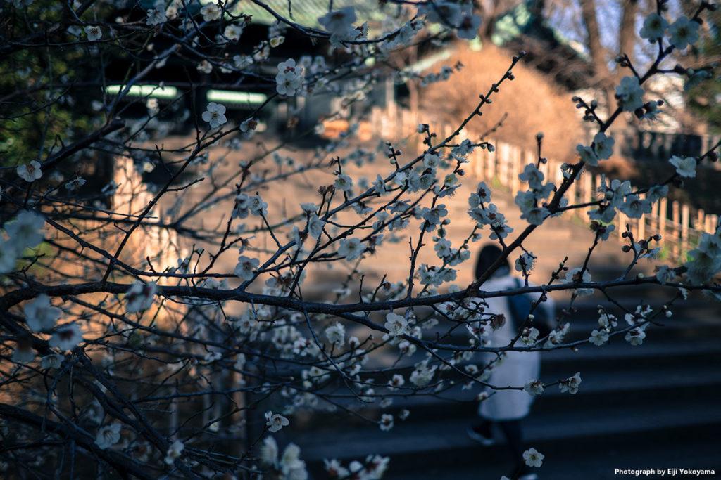 湯島聖堂の梅。ここも、ほぼ見頃となっている感じです。