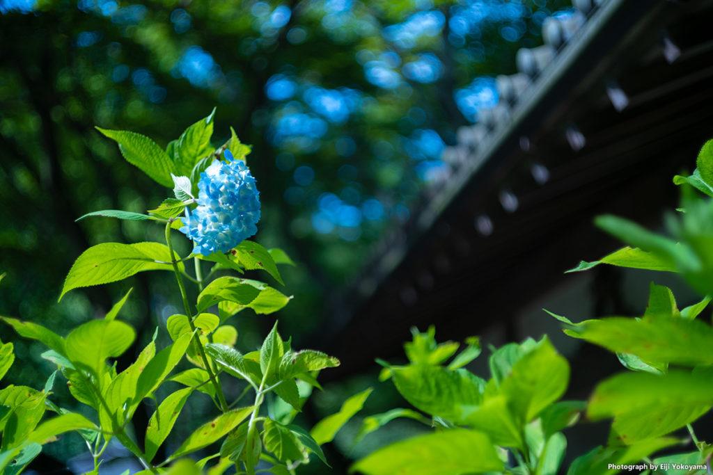 鎌倉、明月院(あじさい寺)。Leica M10 + SUMMICRON 50mm f/2 沈胴。
