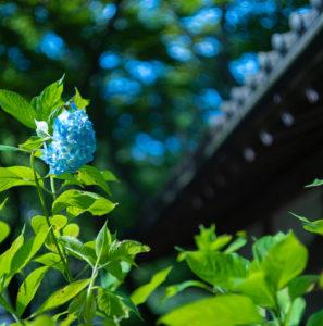 鎌倉、明月院のアジサイとか
