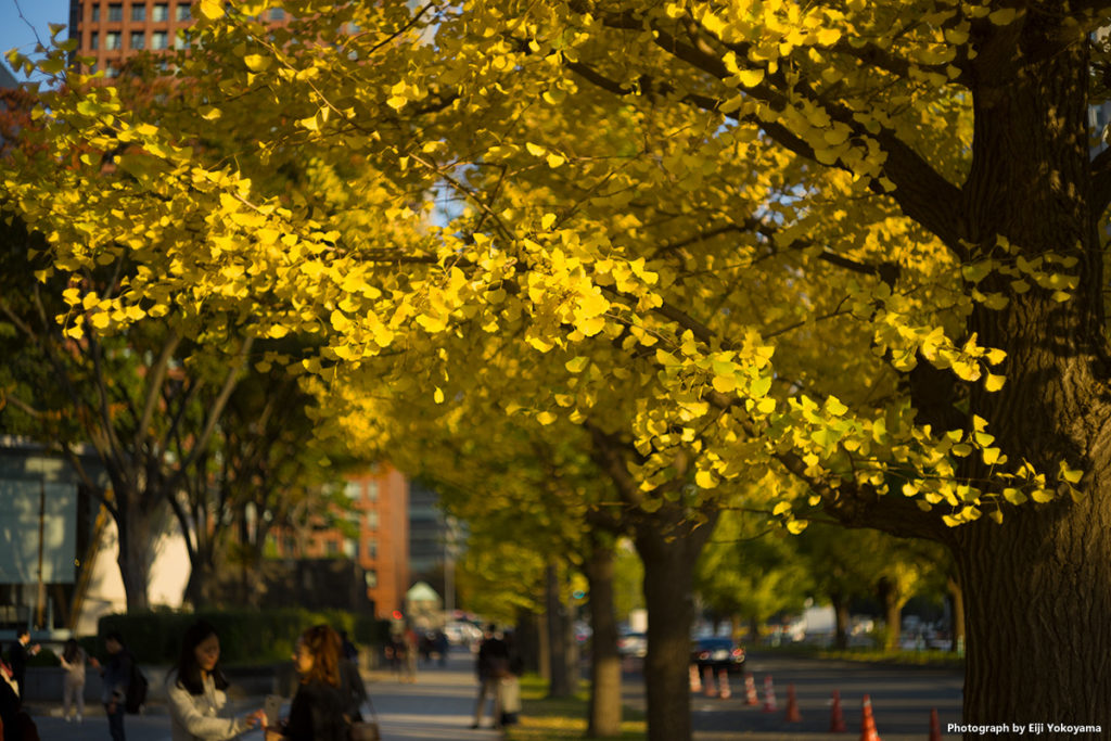 行幸通りのイチョウ、まだ黄葉には早いですが、一部の木はすっかり色づいています。