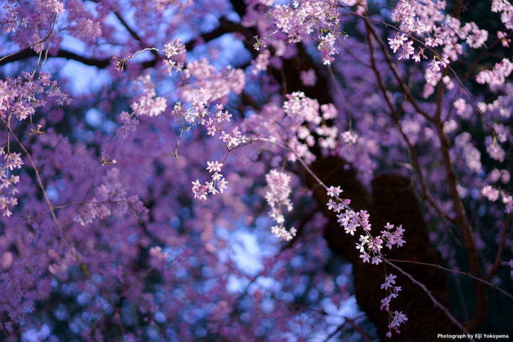 先日、神宮外苑の桜。発売になったばかりのSONYα7IIIのテストを兼ねて。