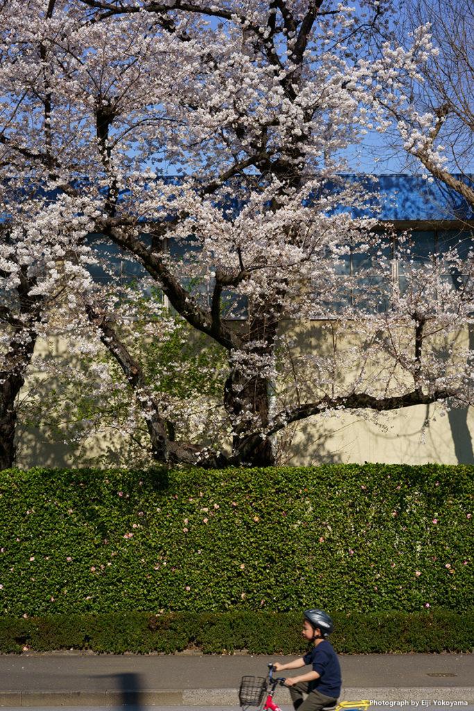 神宮外苑の桜。α7III + Sonnar T* FE 55mm F1.8 ZA SEL55F18Z。