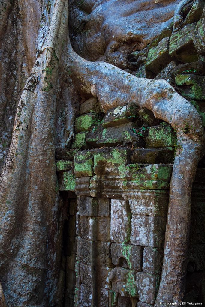 こちらも遺跡にのしかかる巨大な木の根。