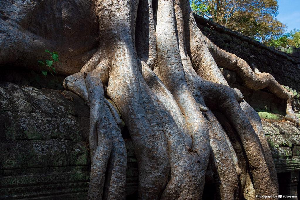 遺跡を押し潰してるような巨大な木の根。