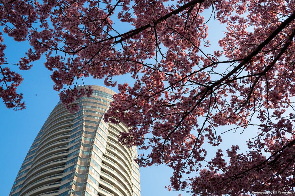 愛宕山、山頂の桜。早咲き種のようで、ほぼ満開。