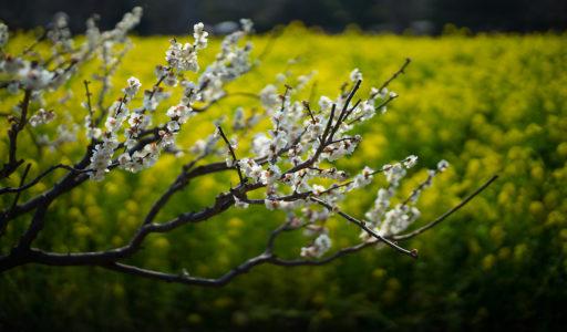 菜の花畑をバックに白い梅。SONY α7II + LEICA SUMMILUX-M 50mm f/1.4 ASPH.
