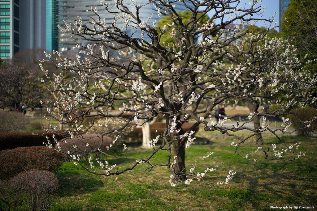 梅の木一本。LEICA SUMMILUX-M 50mm f/1.4 ASPH. 絞り開放で。なかなかの立体感です。