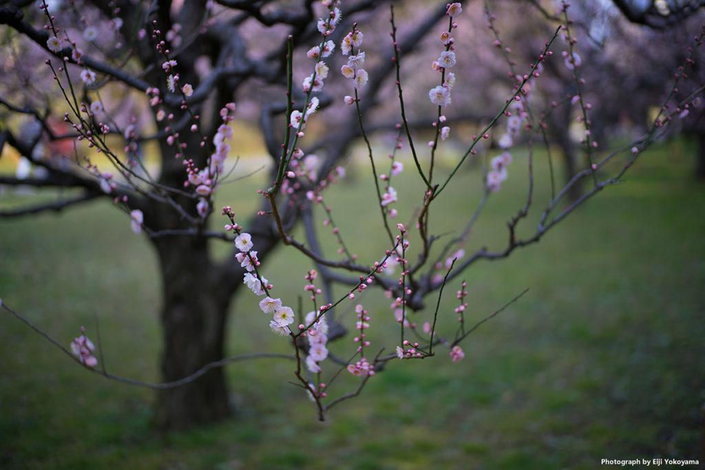 淡いピンクの梅の花。個人的には、こんな感じの梅が好みです。