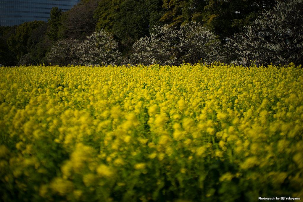 菜の花畑。SONYα7II + LEICA SUMMILUX-M 50mm f/1.4 ASPH.