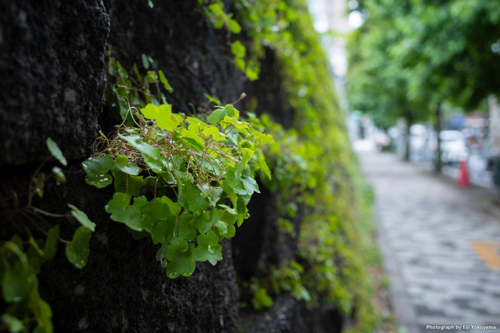 雨あがり、アジサイじゃないですが。外苑西通り、路傍にて。RICOH GRIII