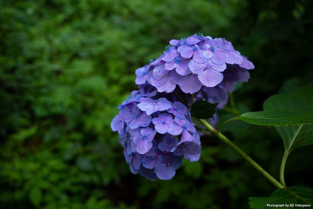 公園のアジサイ。GRIIIの写り、こってりした緑や紫の色乗り、綺麗です。