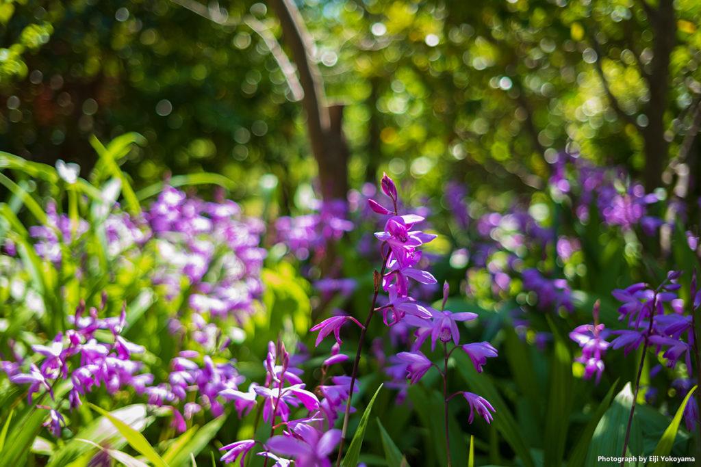 若宮大路近くの神社に咲いていたシラン(紫蘭)です。