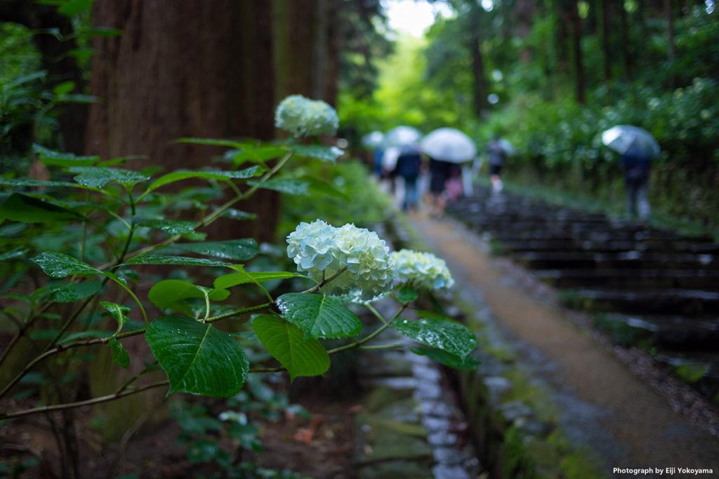 仙台、瑞鳳殿。本堂へ続く杉並木の参道。その路傍、雨に濡れた紫陽花。