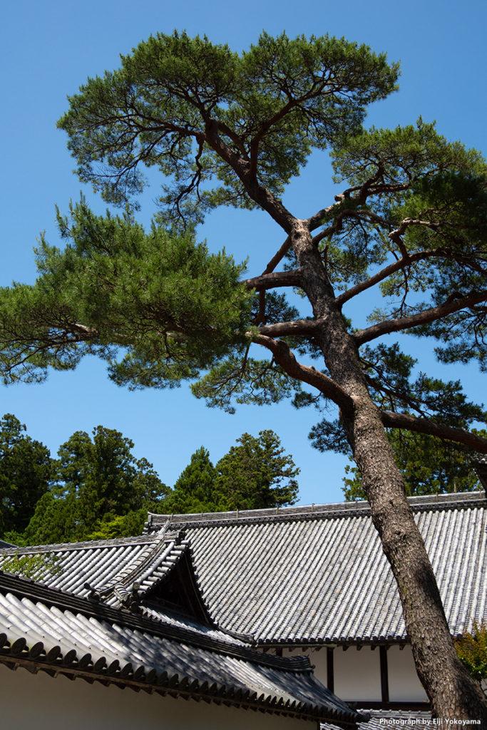 松島、瑞巌寺。松島と言うだけあって、松が多いです。