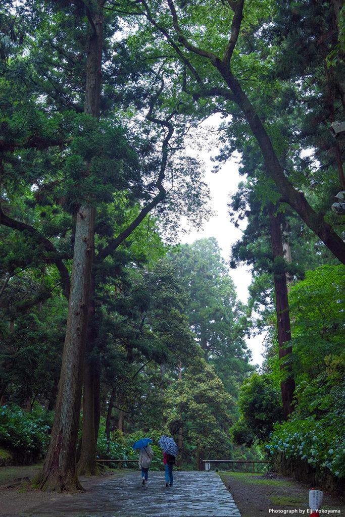 仙台、瑞鳳殿、杉並木の参道。両脇には満開の紫陽花。