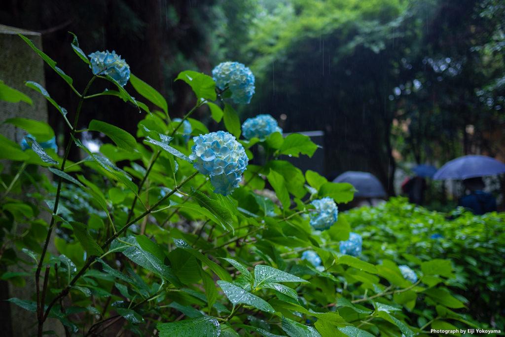 こちらも瑞鳳殿の紫陽花。
