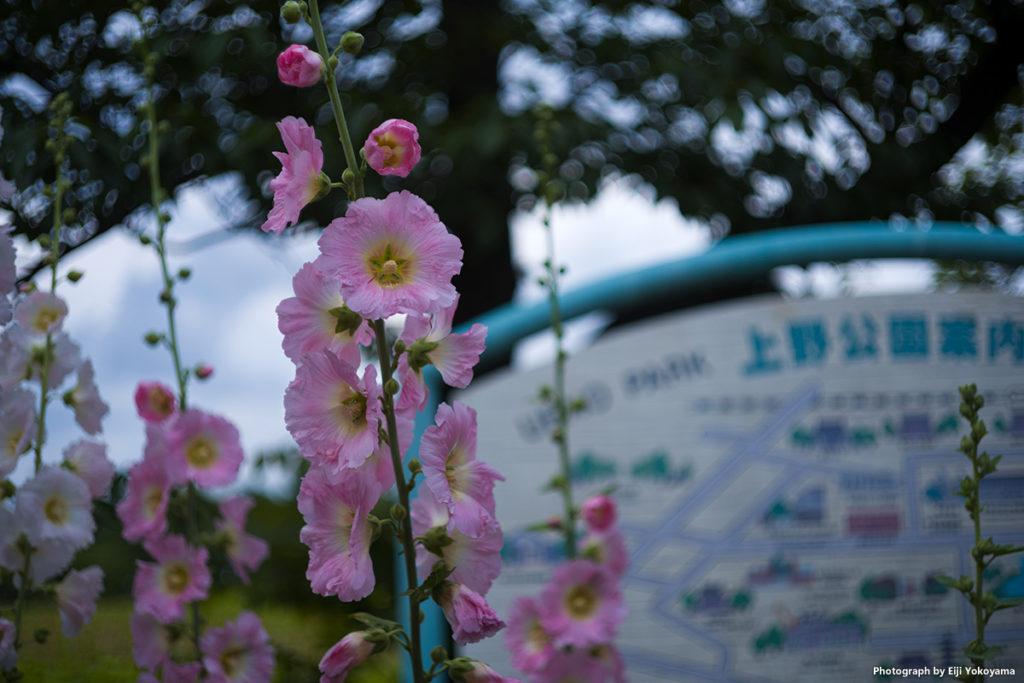 上野公園案内板横に咲いていた花。フヨウ、かな、、、、?