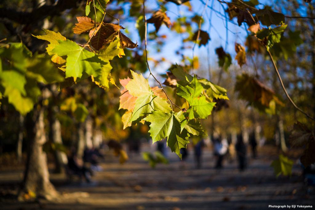 プラタナスの黄葉。近くで見るとあまり綺麗とはいえない。