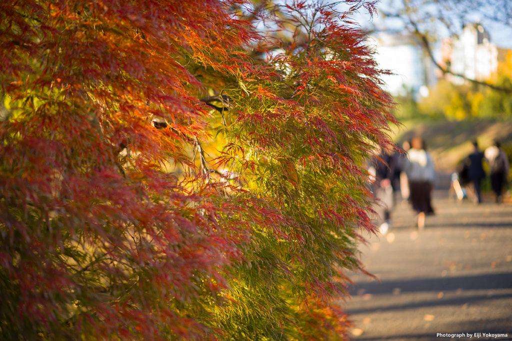ふさふさした紅葉が綺麗だったので。木の名前は分かりません。