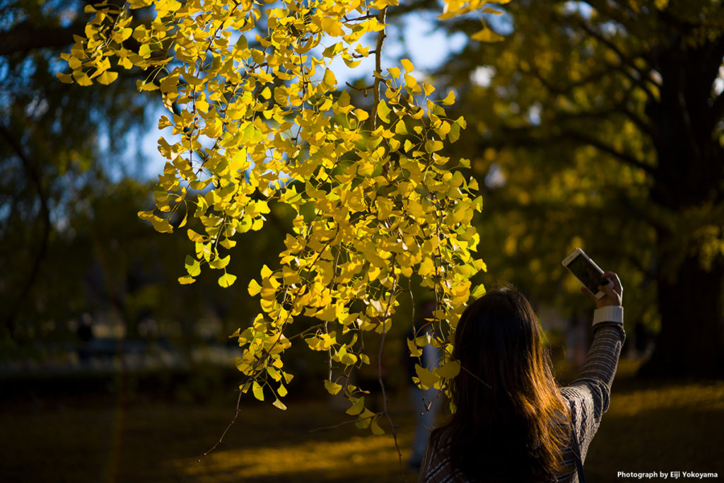 イチョウの黄葉を撮ってたら、いきなりスマホを手にした女子が目の前に。 なんと、絶妙な位置に収まってくれて、そのままシャッター切りました