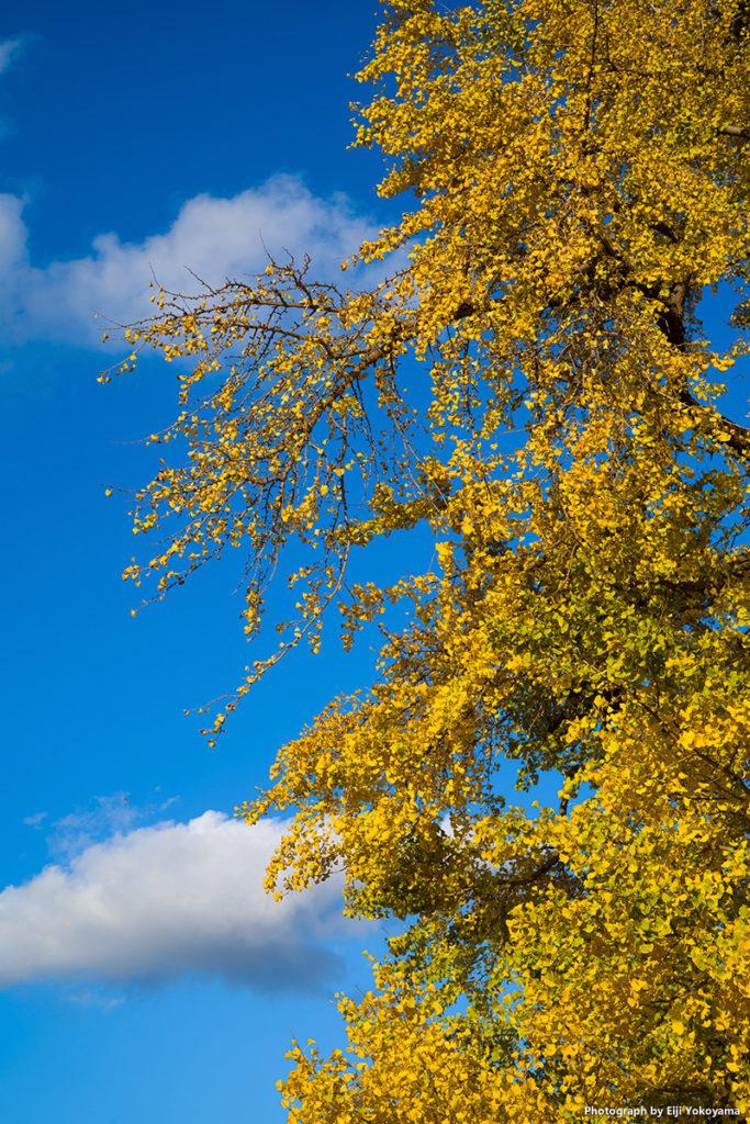 新宿御苑、イチョウ黄葉。