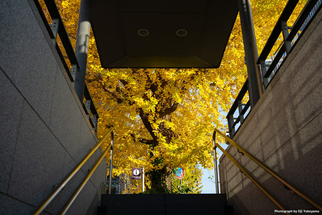 地下道から上がると、いきなり眼前に広がるイチョウの黄葉。綺麗です!