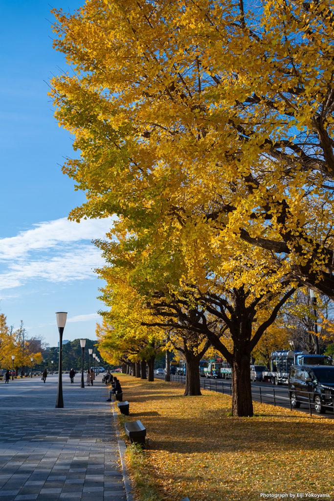 """行幸通りの銀杏並木。けっこう葉は落ちていましたが""""密""""のところが重なるように撮って、なんとか。"""