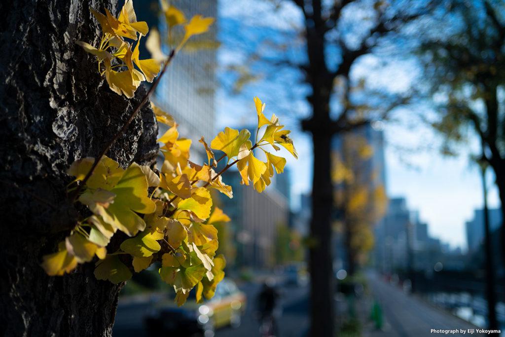 お堀端歩道、イチョウの黄葉。F1.8だとけっこうボケてくれます。