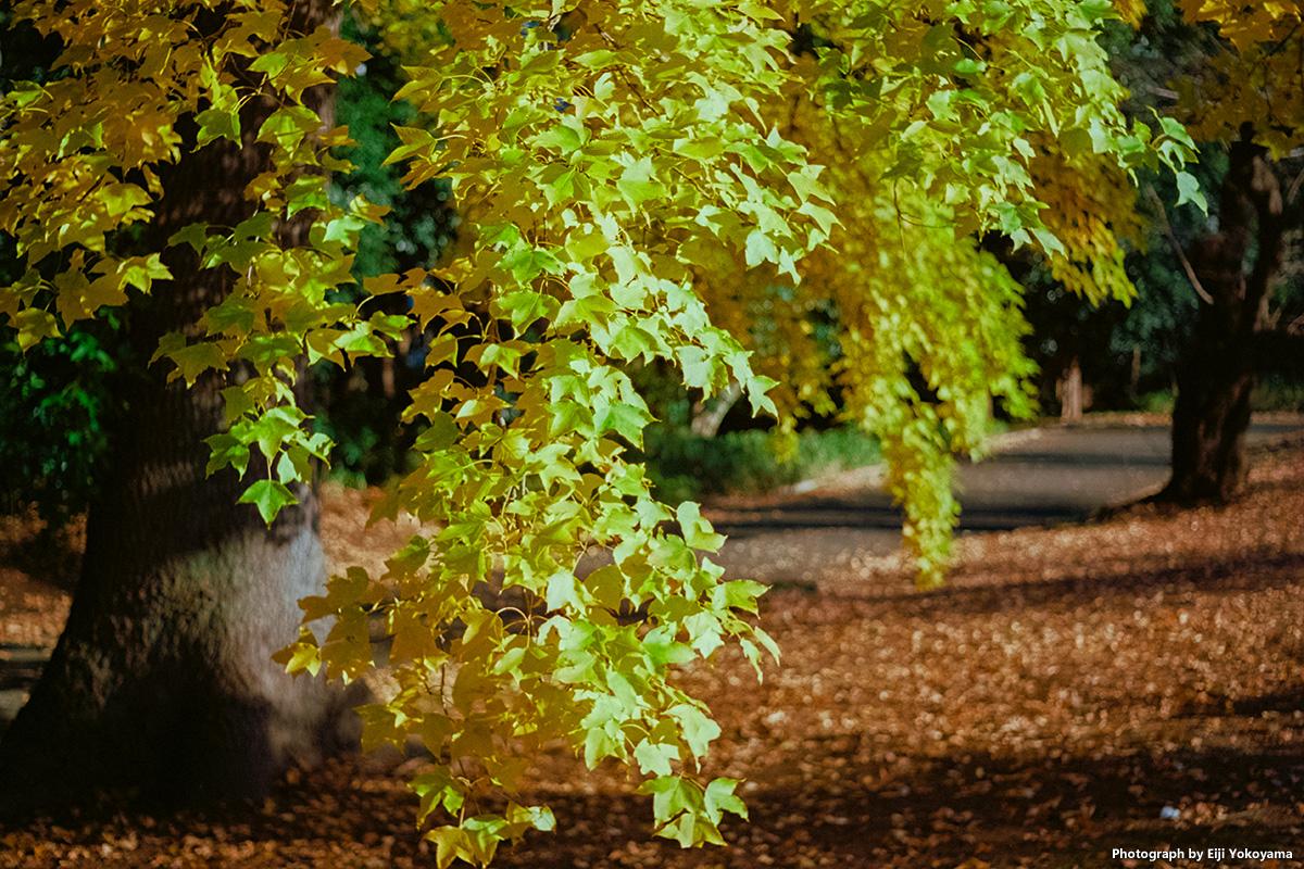 まだ紅葉残る新宿御苑、Leica M-Aで