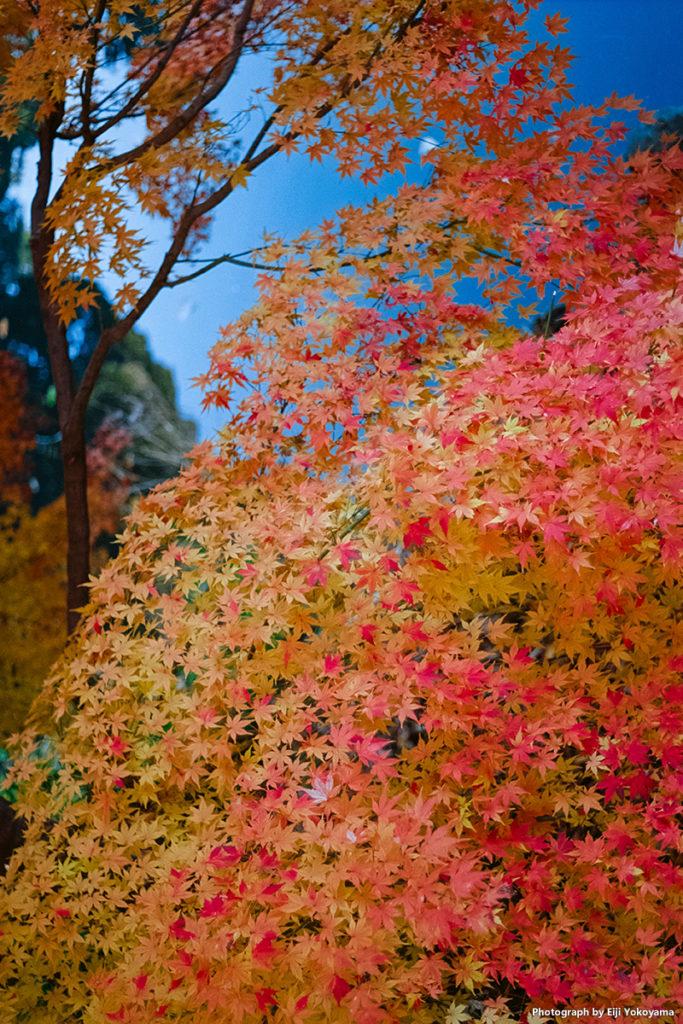 新宿御苑、モミジ紅葉。Leica M-A + ELMAR 50mm f/2.8 + Ektar 100。