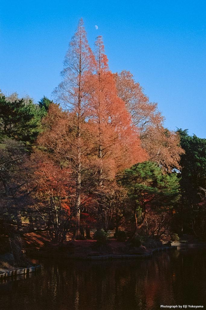 新宿御苑、メタセコイア紅葉。Leica M-A + ELMAR 50mm f/2.8 + Ektar 100。