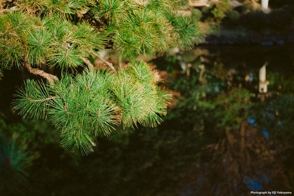 新宿御苑、松と玉藻池。Leica M-A + ELMAR 50mm f/2.8 + Ektar 100。