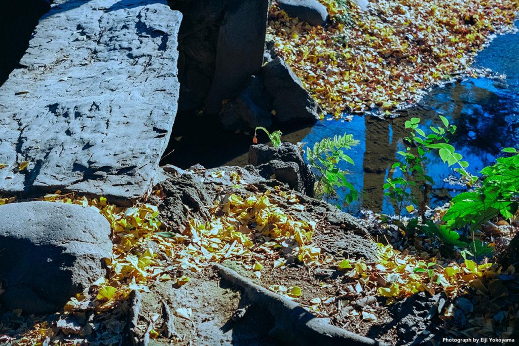 新宿御苑、イチョウの落葉。Leica M-A + ELMAR 50mm f/2.8 + Ektar 100。