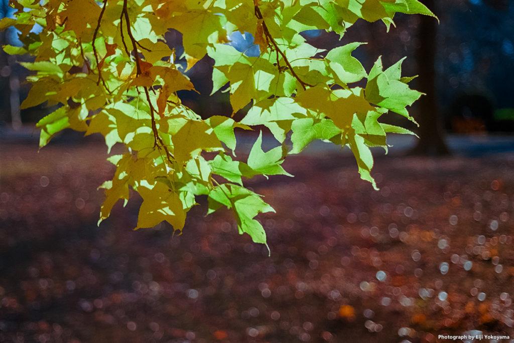 新宿御苑、イチョウ黄葉。Leica M-A + ELMAR 50mm f/2.8 + Ektar 100。