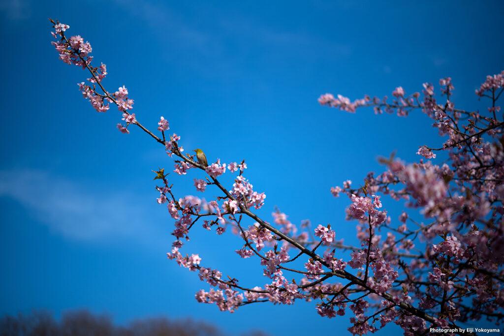 河津桜には定番のメジロ。木が小さいのでメジロがけっこう至近距離に。50mmでもそれなりに写ってくれました。