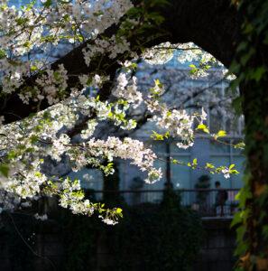 目黒川の桜 α7Cで