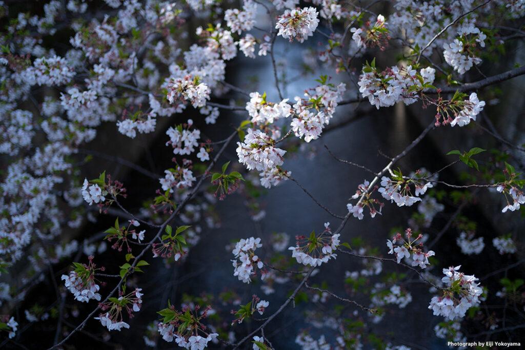 花びら、けっこう落ちてます。α7C + FE 35mm F1.8