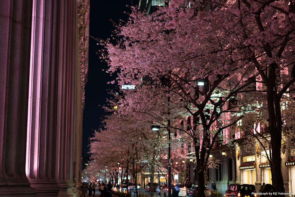 日本橋・満開の桜 α7Cで