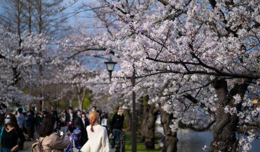 上野公園・桜 α7C + Sonnar T* FE 55mm F1.8 ZA