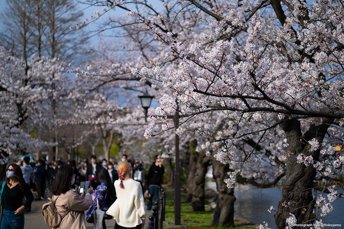 上野公園・満開の桜 α7Cで