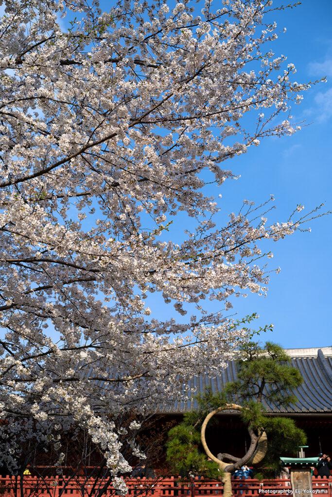 清水観音堂前の桜、満開!です。