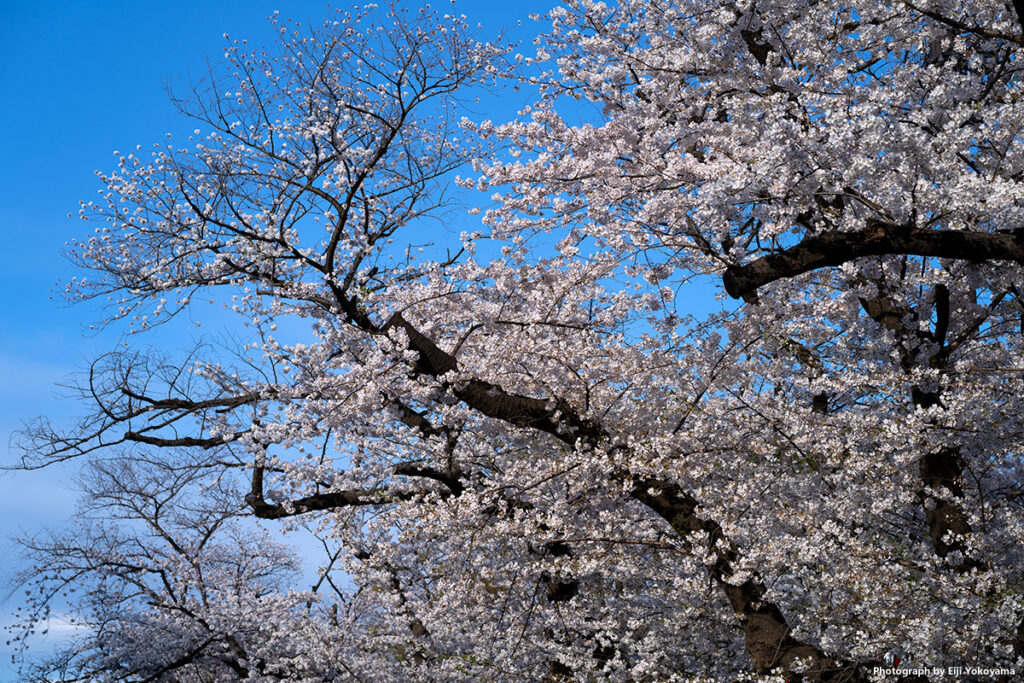 こちらも、満開の桜!