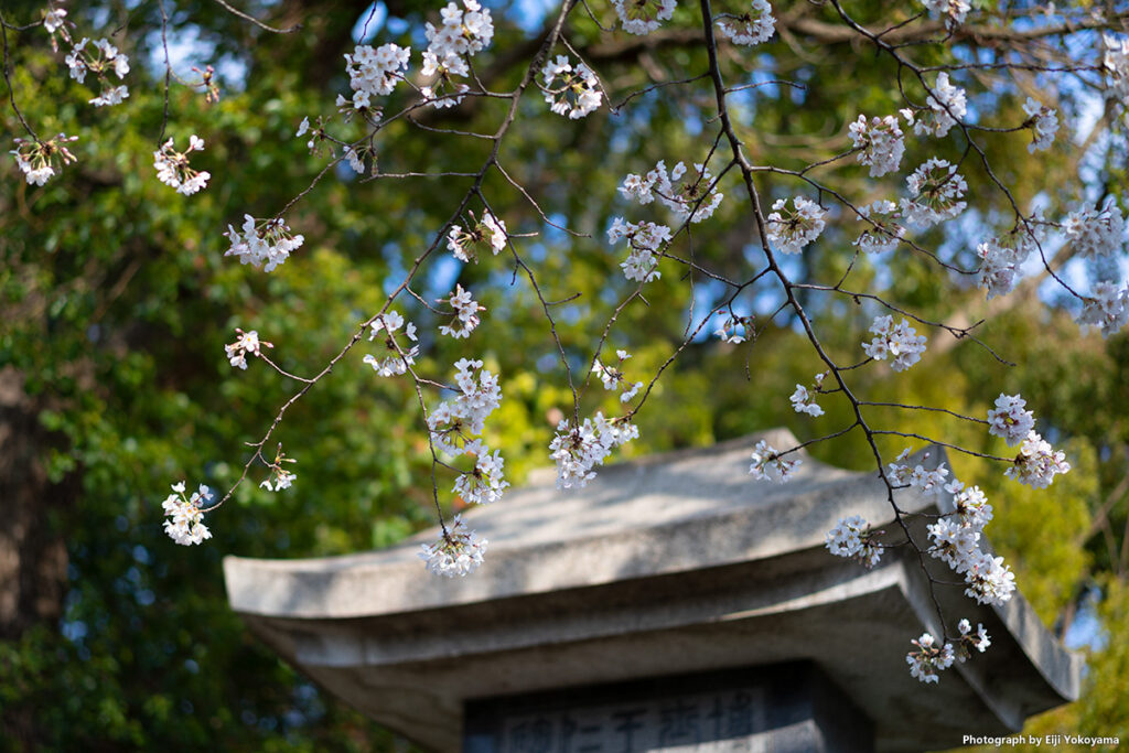 王仁博士碑と桜。