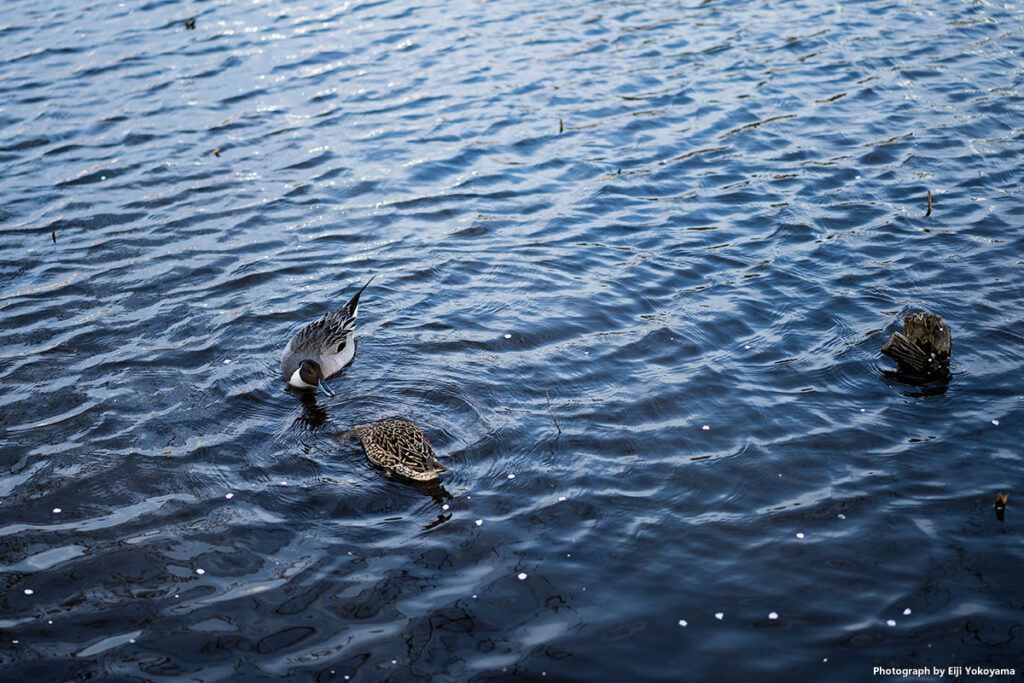 不忍池、鴨です。桜の花びらも少し。
