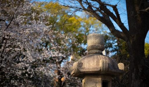 靖国神社・桜、Leica M10-R。