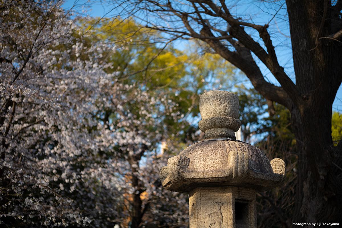 靖国神社の桜 Leica M10-Rで